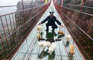 Puppies Too Scared To Complete Crossing Of Glass Bridge